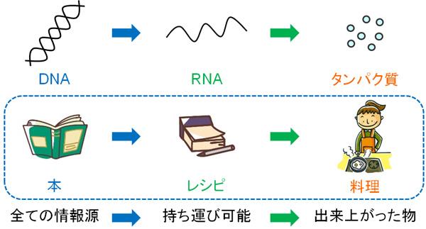 ウイルスの構造と増殖過程