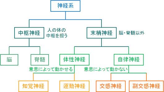 神経系の構造(中枢神経と末梢神経、交感神経と副交感神経)
