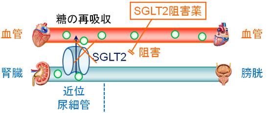SGLT2阻害薬の作用機序