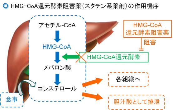 HMG-CoA還元酵素阻害薬(スタチン系薬剤)の作用機序