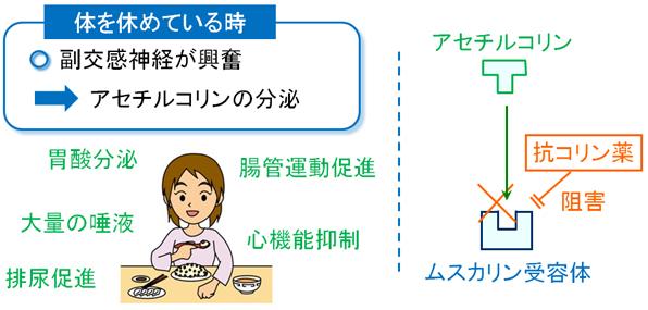ブスコパン(ブチルスコポラミン)の作用機序:鎮痙薬