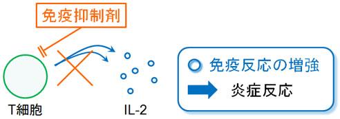プログラフ、グラセプター(タクロリムス)の作用機序:免疫抑制剤